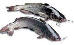 Fresh Farm Magur Fish - 500 Grm