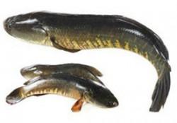 Fresh Desi Magur Fish - 1 Kg