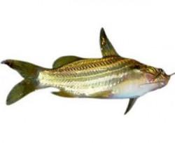 Tengra Fish - 500 Grm (Subject to Availability)